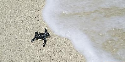 baby-turtle-going-against-wave.jpg